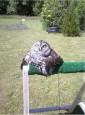 貓頭鷹曬太陽 舒服到「融化」了