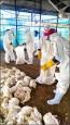 雞隻禽流感增7場 情勢仍嚴峻