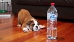 鬥牛犬大戰邪惡「瓶裝水」 網友直呼:太可愛
