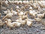 竹市淪陷!鴨場檢出禽流感