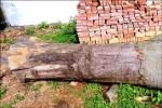 百年朴樹被指「樹妖」慘遭剝皮斷根亡