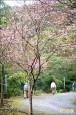 員山秘境櫻花開 老樹比美金城武樹