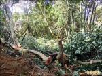 后里林班地濫伐 數十棵樹遭殃