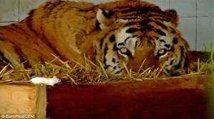 零食變寵物? 老虎放任老鼠身上趴趴造