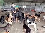 〈終結流浪悲歌〉 單親媽租廢豬寮 8年照顧120流浪狗