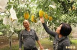 楊桃增產兩成 果農收益卻下滑