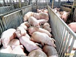豬價跌2成 豬肉今起減供1成