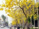 府城風鈴木盛開 自然花季完勝人工百花祭