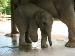 泰國象誤踩地雷炸斷腿 裝上義肢後重生