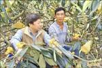 少雨結果率提升 國姓枇杷豐收