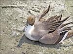 高屏溪河床 逾150水鳥暴斃