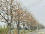 雲林台西「火紅大道」木棉花怒放4公里