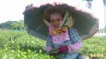 台東鹿野茶園 出現雨傘花