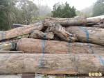 好運? 蘇中福撿16根漂流木 10根是珍貴檜木
