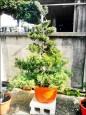 專偷珍木盆栽 整形亂剪毀容