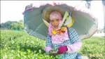 防曬又防雨 鹿野茶園一片雨傘花