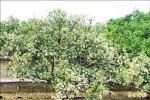 缺水果樹大開花 農憂著果率差