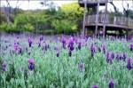 「花」現陽明山、內雙溪 萬紫千紅