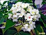 埔里桐花含苞 四月中旬「飄雪」