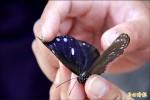 紫斑蝶北返 蝶量不到往年一半