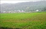 稻熱病出現 農改場擔心蔓延