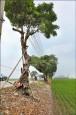 埤頭7棵路樹 被火燒成空心