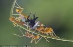 從單挑變打群架!螞蟻為搶蒼蠅爆發迷你大戰