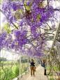 紫藤花園 把台灣變法國
