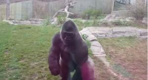 猩球崛起!小女孩學「捶胸」 猩猩失控暴走嚇壞遊客