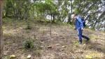 山陽坑造林 除草傷原生種小苗