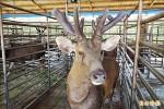 《分辨鹿茸從哪來》洋鹿茸紅又粗 國產觸感如絨布