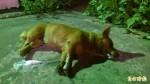 家犬疑似被毒殺 主人痛罵「無良心」