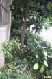 女學生墜樓 撞福樹救一命