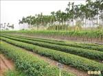 農業茶飲追源頭 檳榔灑藥波及?混茶所致?