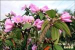 春遊恆春半島 粉紫野牡丹迷人