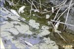 朴子溪飄魚屍 長達2公里