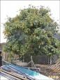 荔枝樹結果百斤 母親節供免費嘗
