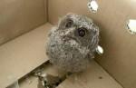 貓頭鷹雛鳥落巢被拾獲 無辜萌樣惹人憐愛