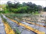 茶園節水 南港坡地推廣旱作管路灌溉