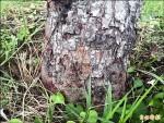 紅椿象蟲嚇壞人 專家說無害免驚