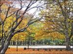 〈旅遊的滋味〉戀上日本早楓