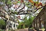 高雄大湖百年鳳凰木 紅花下週盛放