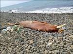 大鯨豚死了3個月 教授也難辨
