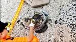 白沙龍頭海灘 發現死亡欖蠵龜