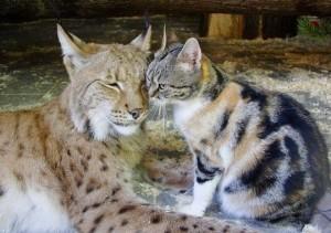 跨品種友誼!  小貓沒被山貓吃掉反變好友