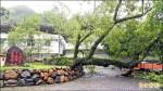 〈守護村民百年〉大雨摧殘!南投中寮樟樹公倒了