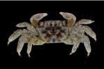 台灣有新訪客!墾丁發現兩種新「蟹類」蹤跡