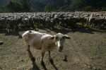 剪毛時辱罵綿羊遭投訴 農夫:牠們又沒有抱怨