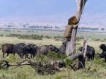 水牛群壓境 「萬獸之王」獅子上樹成遜咖