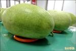週六福興西瓜節 6千斤吃免驚